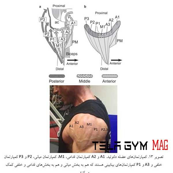 آناتومی عضله سرشانه دلتویید بدنسازی