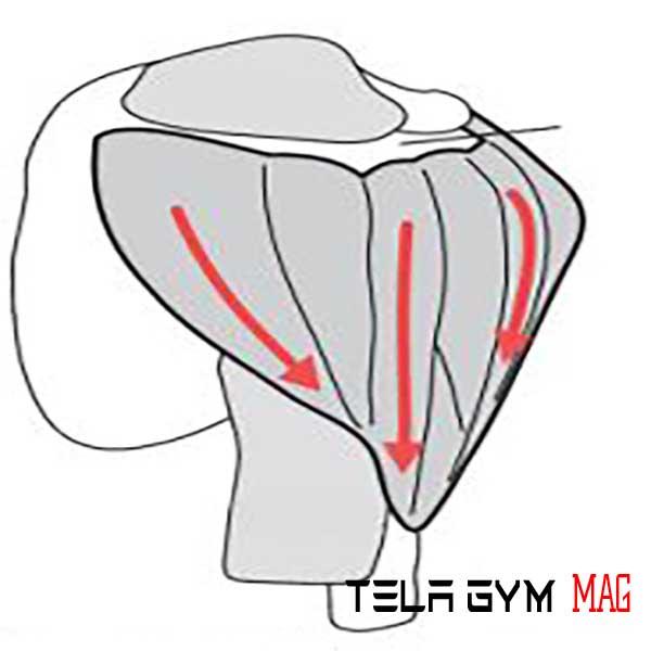 آناتومی عضله سرشانه دلتویید