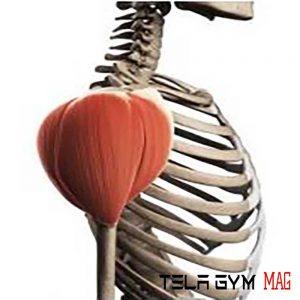 آناتومی عضله سرشانه